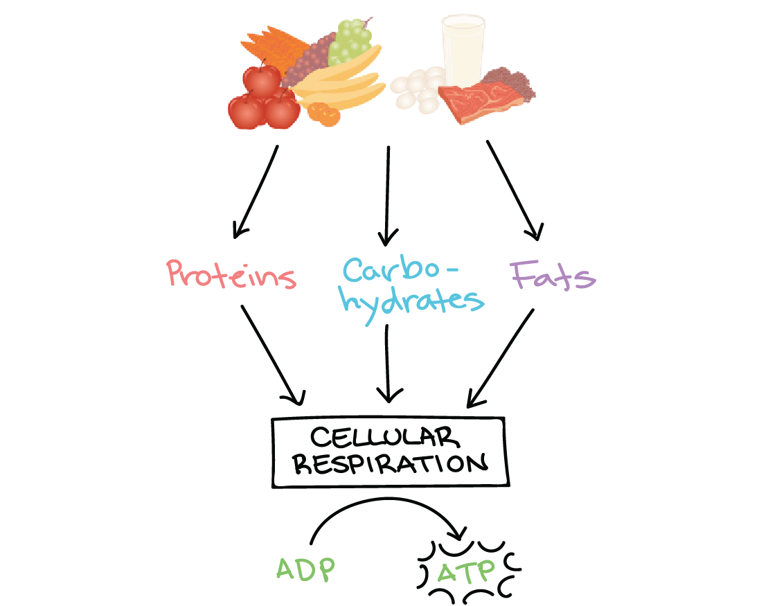 what is an example of metabolism in biology