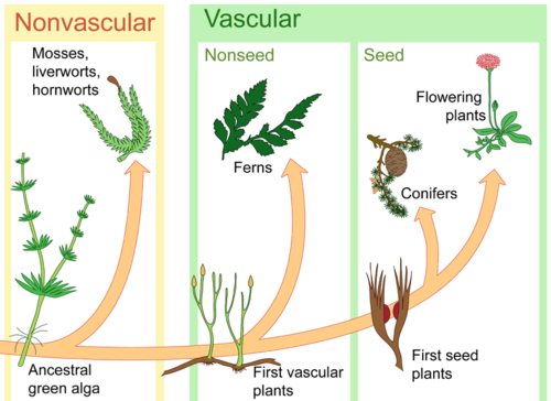 describe angiosperms and gymnosperms and give an example of each